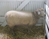 Romney (sheep)