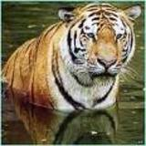 Save Our Tiger Just 1411 Left