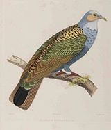 Norfolk Island Ground-dove