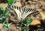 Western Ghats butterflies