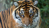 The Young Tiger