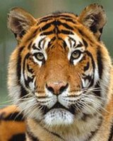 SAVEOUR TIGER