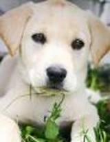 labra dogs