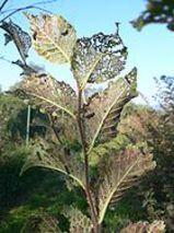 Ulmus laciniata