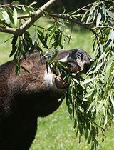 Mountain Tapir