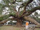 Treaty Oak (Jacksonville, Florida)