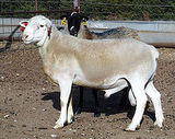 Dorper (sheep)